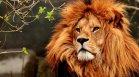 Лъвове и горила в зоопарка в Прага са болни от Ковид-19