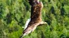 Бракониери простреляха царски орел - една от най-редките птици в света
