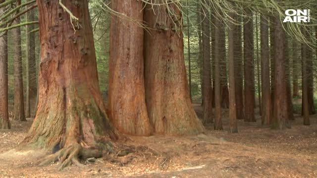 Резултат с изображение за гората с вековните секвои кюстендил снимки